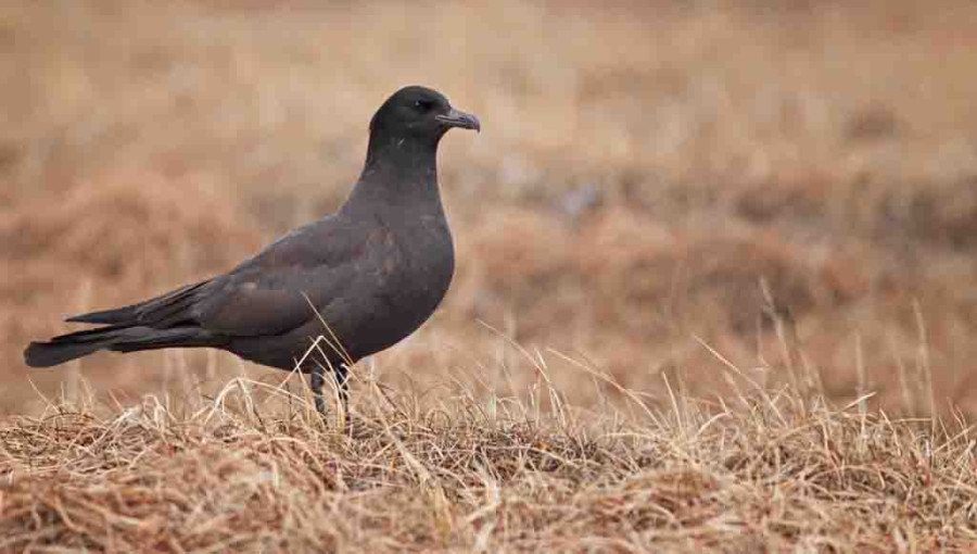 The Pomarine Jaeger featured in the first picture is a light-morph bird, whereas this one certainly belongs to the dark-morph category. Dark-morph Pomarines supposedly make up less than 15% of the total population, but we have found a fair number in the area.