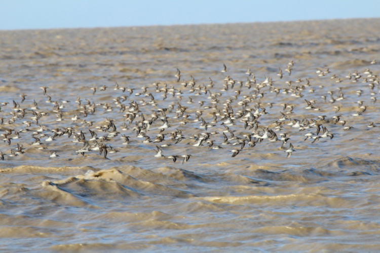 A flock of semipalmated sandpipers cruise across the sediment-rich waters on the coast of French Guiana.