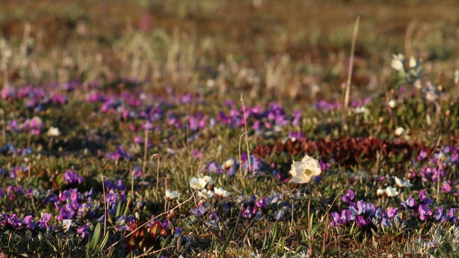 Dryas and Oxytropis in bloom along the Katakturuk River flats