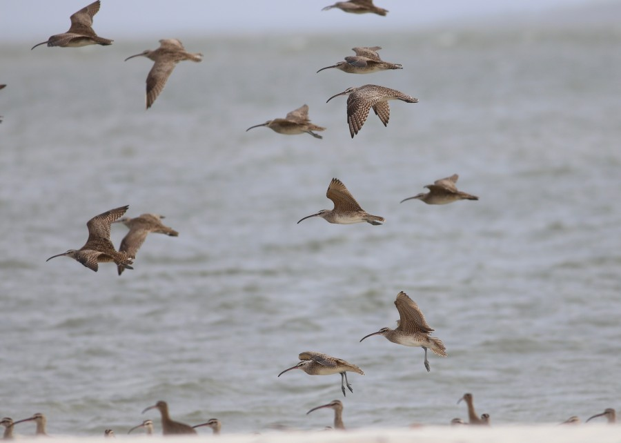 flying Whimbrel group