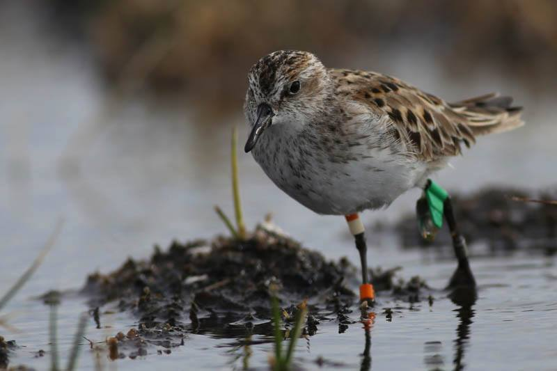 Semipalmated Sandpiper number 254, just before it was recaptured.  After sharing its journey with us by carrying the geolocator, it is now getting ready to head out on its next journey back to its wintering area in Brazil.