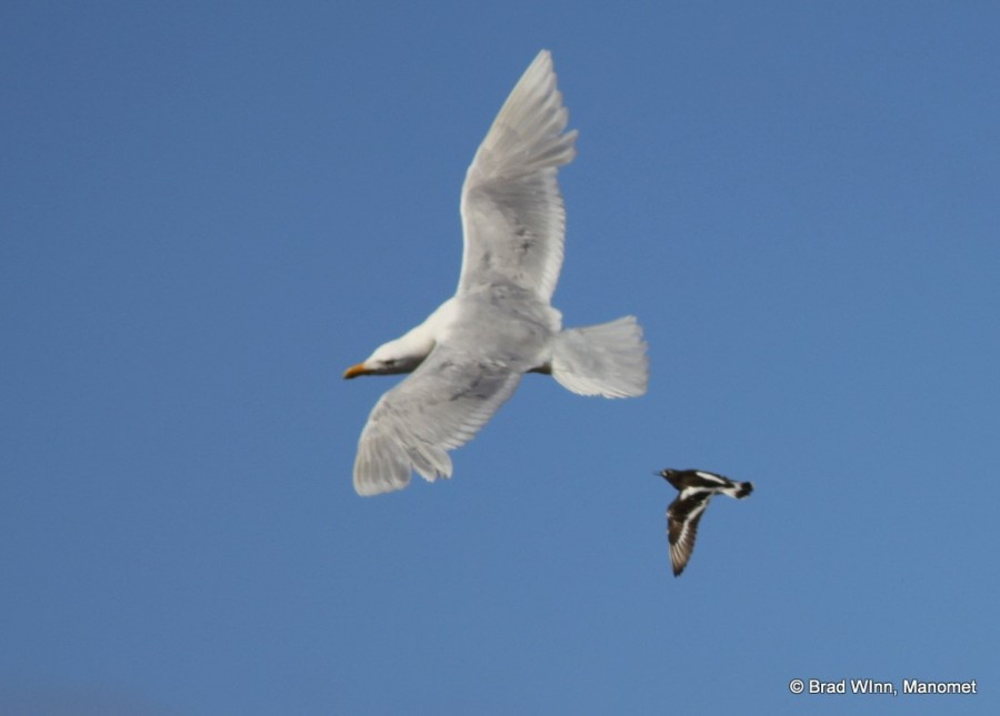 A Glaucous Gull, one of the larger gulls in the world, is looking back in fear and taking evasive action as a turnstone rockets in to make a point.