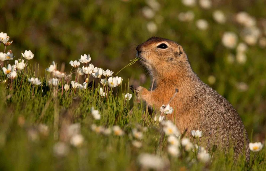 The diets of ground-squirrels are quite broad, consisting of everything from shorebird eggs and lemmings to flowers and tender grass shoots. The zones around some of the squirrel tunnels are devoid of certain species of flower that they especially seem to enjoy.
