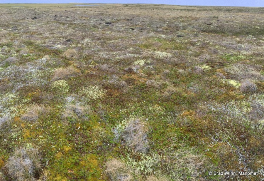 Lichen tundra is the preferred nesting habitat for Rock Sandpipers. Other shorebirds do well here too, including Whimbrel, Western Sandpiper, and Pacific Golden Plover.