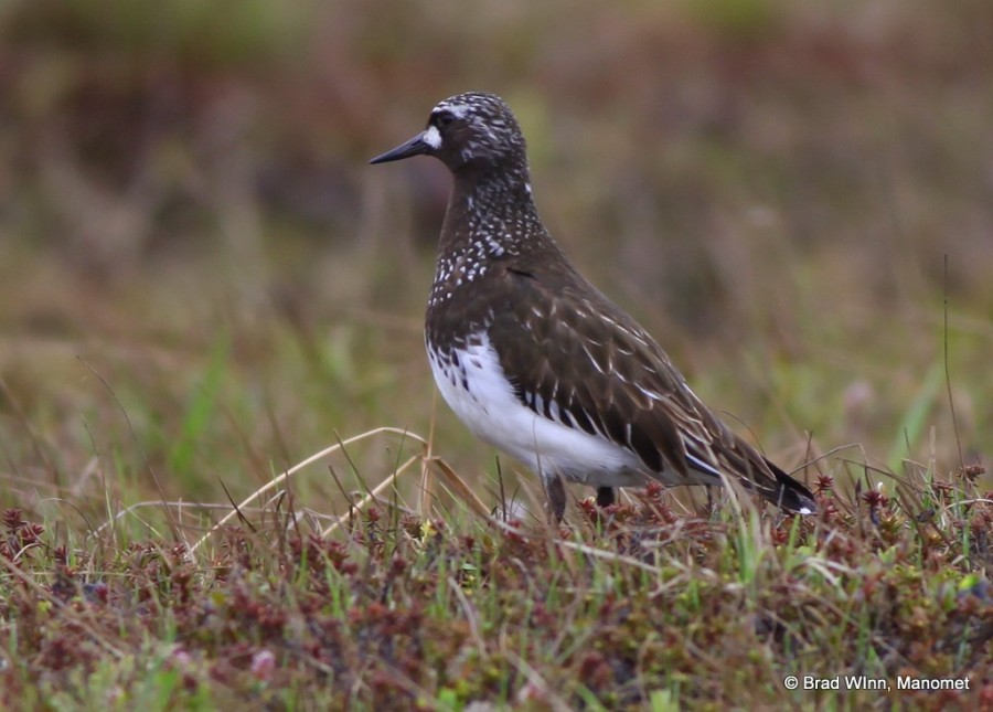 A male Black Turnstone near his nest on high alert for any gull or jaeger who might enter the no-fly zone wrapped like an invisible halo around its nest.