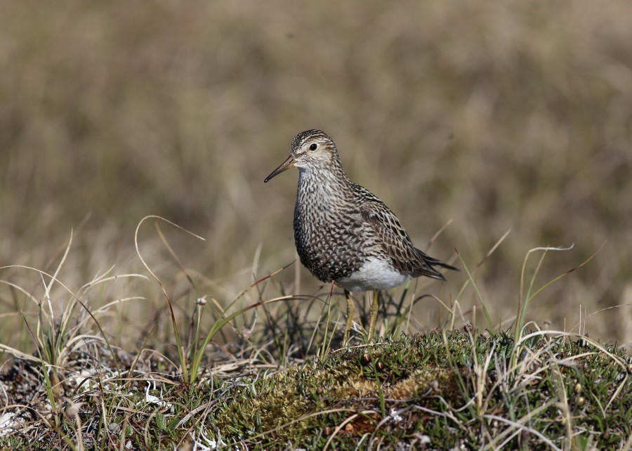 Pectoral Sandpipers are one of the more abundant breeding shorebirds on the tundra of the Canning River Delta. The number of breeding pairs within the study site can vary greatly from year to year (from 200 nests in 2014 to less than 20 in 2012, for example). On the breeding grounds male Pectoral Sandpipers (pictured) perform a spectacular flight display over their territory, emitting a far-carrying booming call from an inflated air sac in their breast. Significantly smaller than the males, female Pectoral Sandpipers perform all of the incubation and brooding duties, so any nest searching endeavor involving a Pectoral must first begin with determining the sex of the bird you are observing.