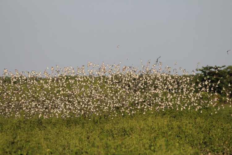 A flock of shorebirds, mostly Semipalmated Sandpipers, rises up above the young mangrove forest.