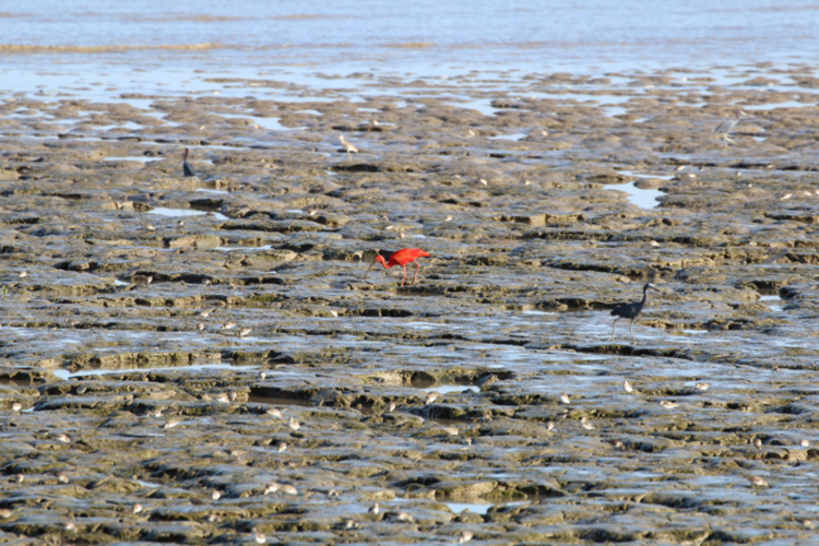 At low tide, the exposed mudflats near the Amana Nature Reserve are used by a variety of waterbirds including Semipalmated Sandpipers, Willets, Little Blue Herons, and the conspicuous Scarlet Ibis.