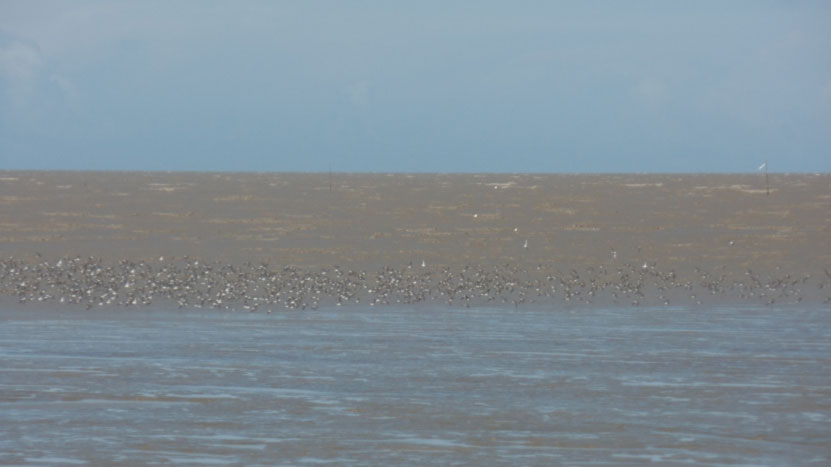 A nice flock of Semipalmated Sandpipers feed on the incoming tide.  The silts that form these flats are the product of the mighty Amazon River flowing into the Atlantic from Brazil, far to our east.