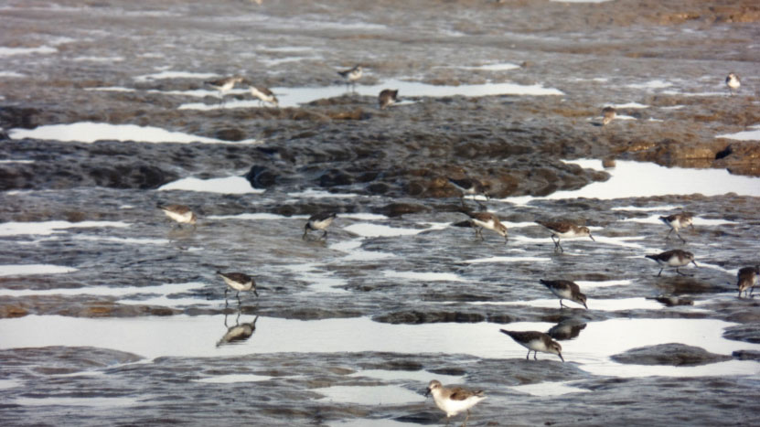 Feeding Semipalmated Sandpipers on Warappa Creek mouth mudflats.  Some of these birds might have been seen by Manomet Staff working on Coats Island all the way up in Hudson Bay, Nunavut Canada.