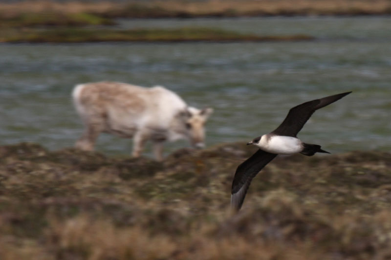 Parasitic Jaeger in sweeping flight passes by a female caribou as it hunts for nesting female eiders and shorebirds like phalarope.  Photo by Shiloh Schulte