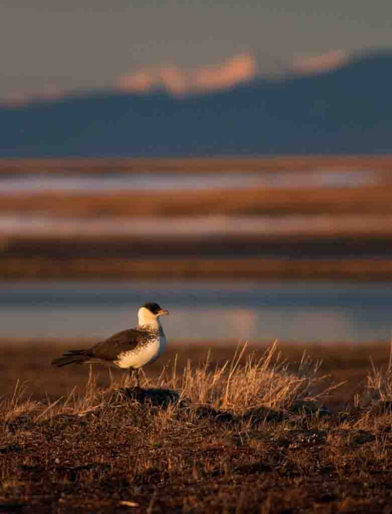 This Pomarine Jaeger keeps watch near our camp under the light of the 2am sun with the Brooks Range looming in the background. At the top of the food chain around here, this bird has little to worry about except where the next meal is coming from.