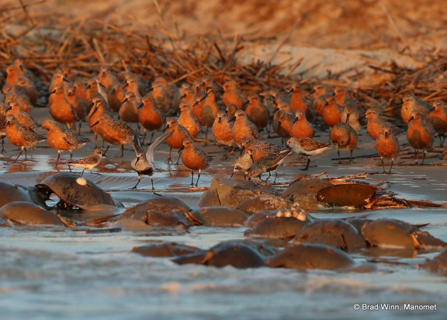 Red knots and other shorebirds line up in the fading evening sun, waiting for the crabs to finish spawning as the tide drops, exposing the eggs that will feed and fatten the migrating birds.