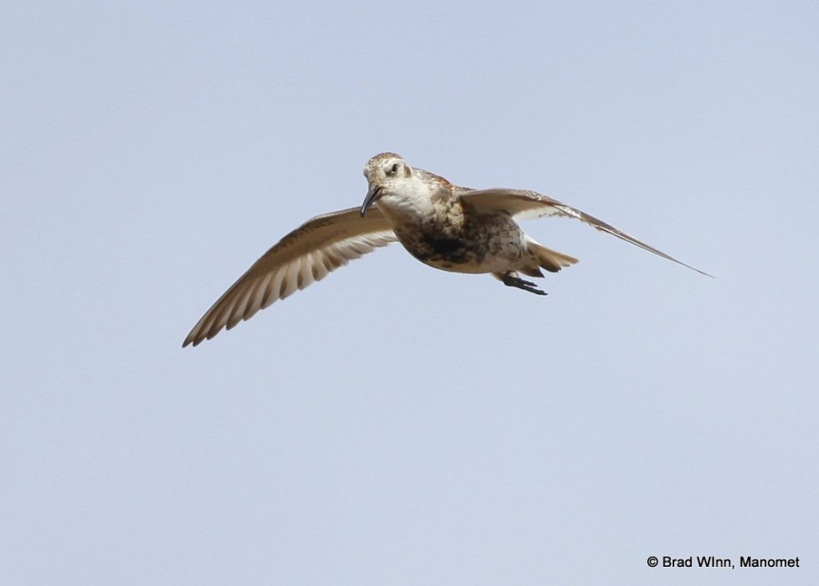 A male Rock Sandpiper singing from the air.  With no trees, tundra-nesting shorebirds need to use flight displays to advertise their presence.