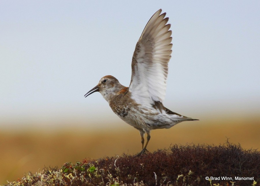 A male Rock Sandpiper in full ground display on lichen tundra. Yukon National Wildlife Refuge.