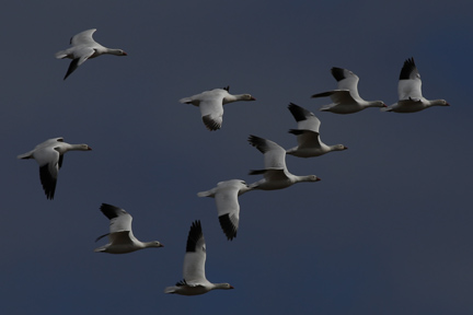 Flock of Ross's Geese flying inland over Coats Island.  Photo by Brad Winn