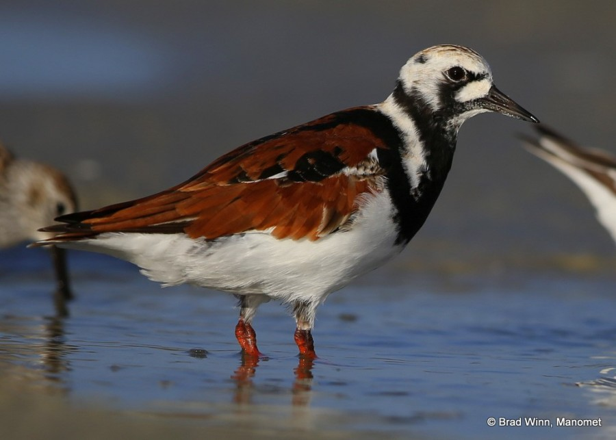 A Ruddy Turnstone looking very gaudy as it reaches peak plumage.  The spade-like bill of these birds allows them to dig into crab nests, even when the sand is dry, giving them an advantage over the softer billed shorebirds they migrate with.  Ever wonder why this bird is so ornate?  See Shiloh Schulte's photo below of a nesting turnstone on Coats Island in Canada.  It's all about nesting.