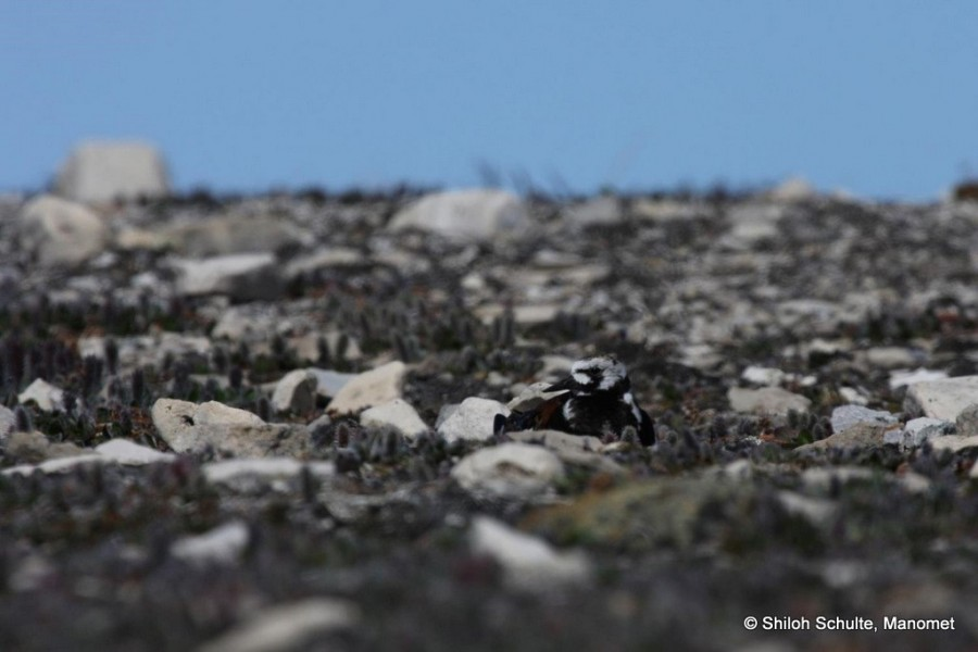 Ruddy Turnstones  stand out on the beach, but blend in to their rocky tundra nesting habitat very nicely.  Try squinting when looking at this photo and bird almost disappears.  Photo from June 2014 in Coats Island by Shiloh Schulte.