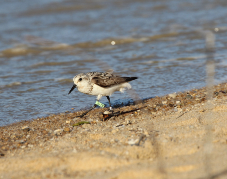 A Sanderling with a light green flag was one of the first shorebirds seen on field excursions in coastal French Guiana. This bird was flagged on the East Coast of the United States, underscoring the linkages between North and South American and the need to work collaboratively to conserve highly mobile species.