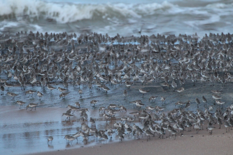 A large flock of Semipalmated Sandpipers assemble in Kourou, French Guiana.