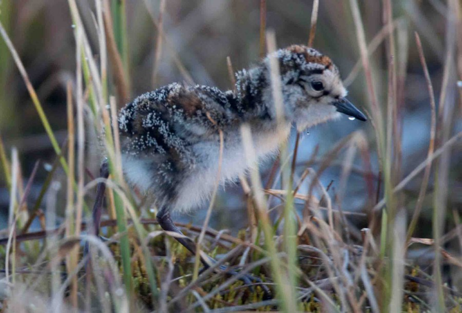 This Semipalmated Sandpiper chick is a few days old, photographed feeding along the edge of a small stream with its three nest-mates and parent in attendance. In just a few weeks it will be heading south on the first of many long migration journeys.