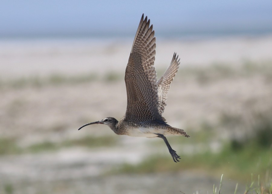 upclose Whimbrel flying