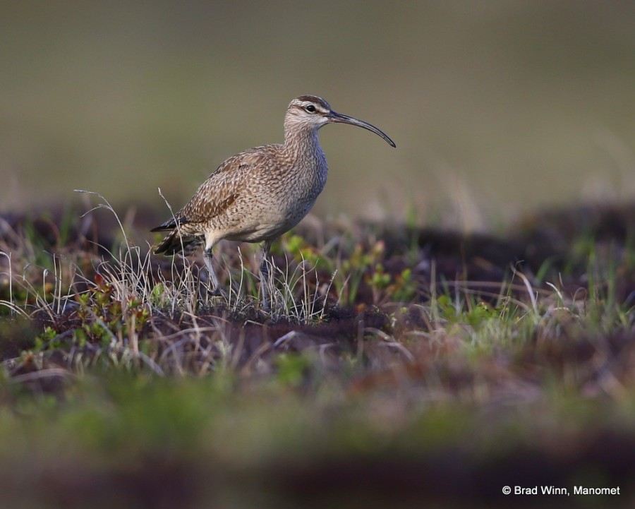 A Whimbrel on lichen tundra on the outskirts of Bethel, Alaska. These birds can emit low flute-like calls that float out on the tundra without giving the bird's location away.  In essence, a pair can hide in plain sight while communicating with this shorebird form of ventriloquism.