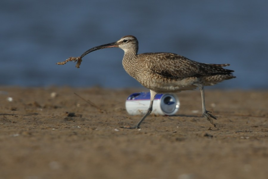 whimbrel eating ghost shrimp_BW