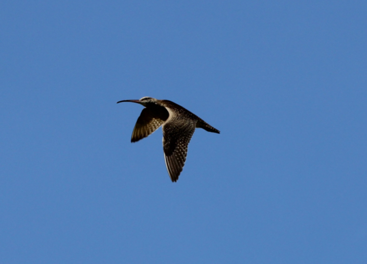 A Whimbrel flies overhead on its way from the young mangroves and mudflat to a roosting area in an abandoned section of rice fields.