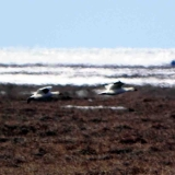 3firstsnowgeese