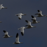 rossgeese