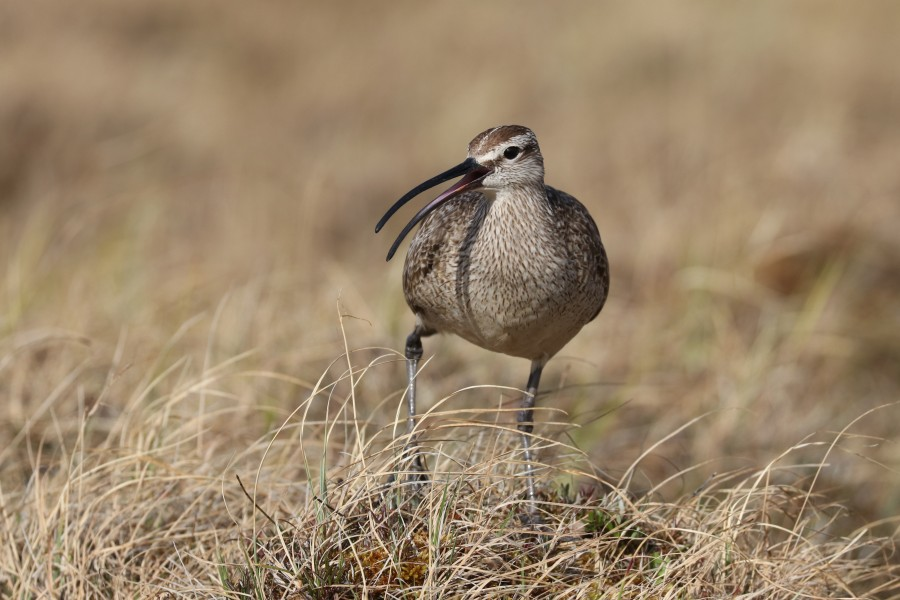 This Whimbrel had opinions about our presence in her territory. Whimbrels are highly defensive of their nests and territories and will harass predators and battle with their neighbors.