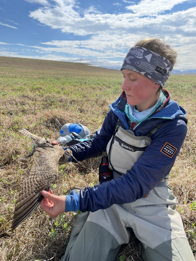 Kirsti Carr opens the wing of a captured Whimbrel so we can document molt and feather condition