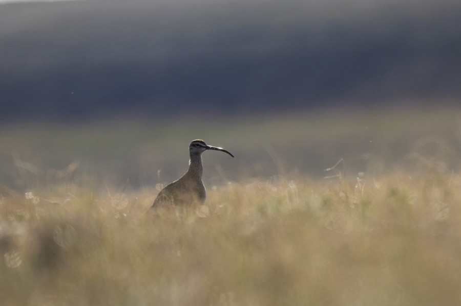A Whimbrel watches us as we search for her nest in the tall tundra sedge.