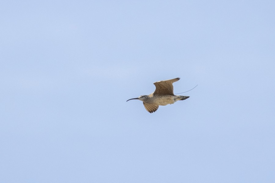 A recently tagged Whimbrel in flight